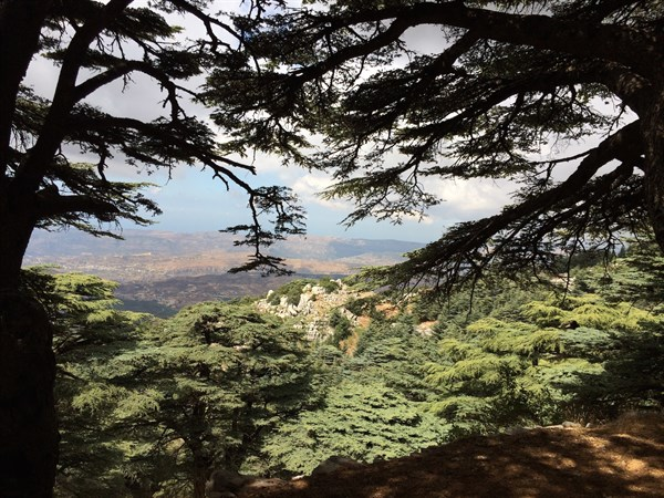 Like a Cedar in Lebanon